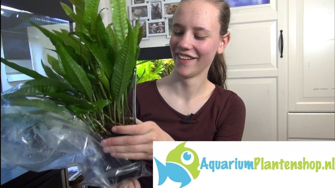 Planten bij sluierstaart aquarium 2