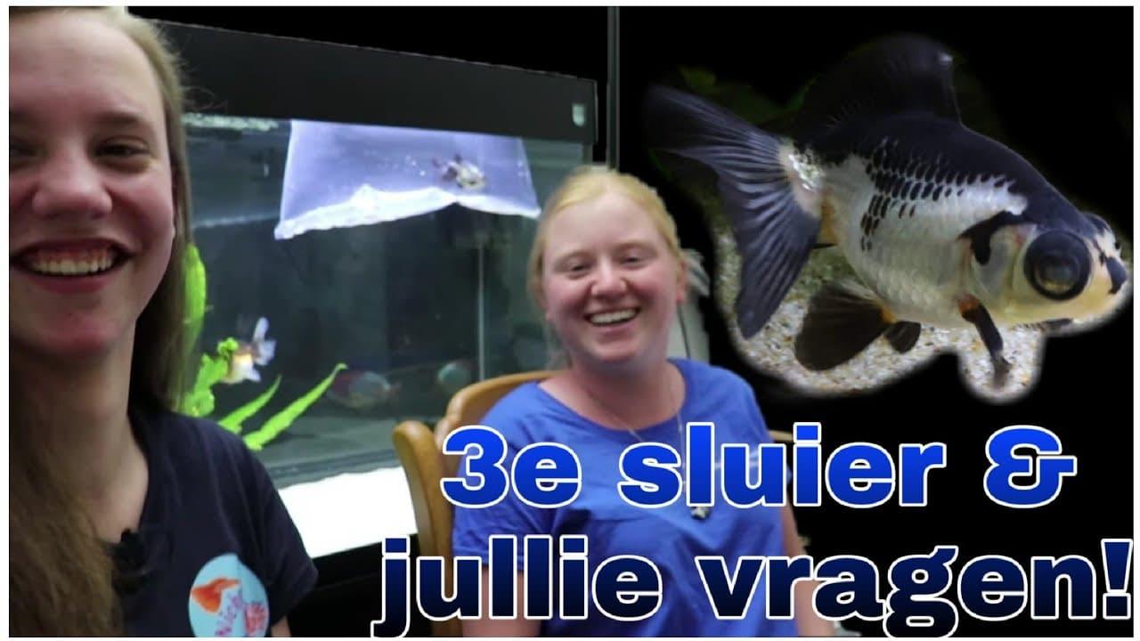 Sluierstaart aquarium 1