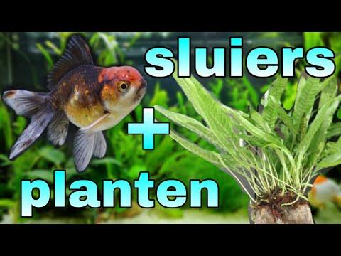 Aquarium planten sluierstaart 3