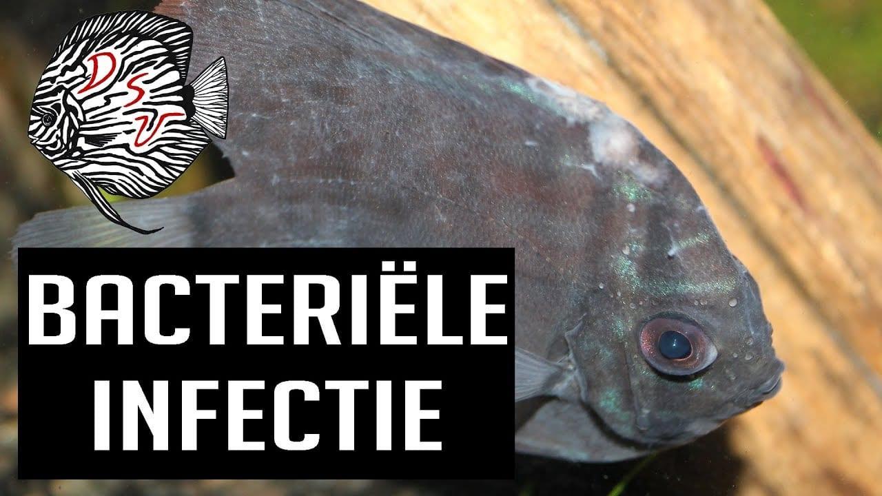 Bacteriele infectie bij vissen 3